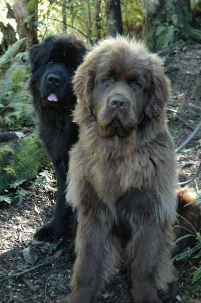 Black and brown newfoundland dogs
