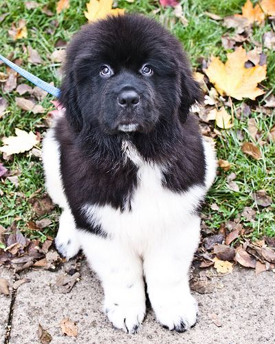 Black and white - newfoundland puppies