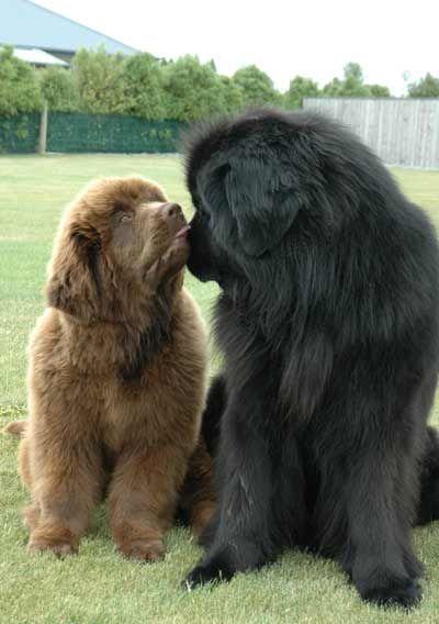 Chocklate newfoundland puppy with mom