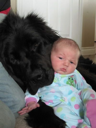 Newfoundland Dog Info And Pictures Fallinpets