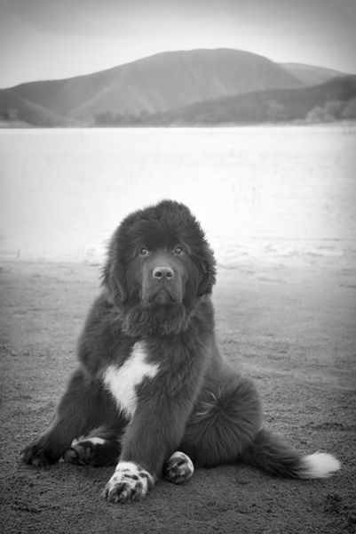 Gorgeous newfoundland dog puppy