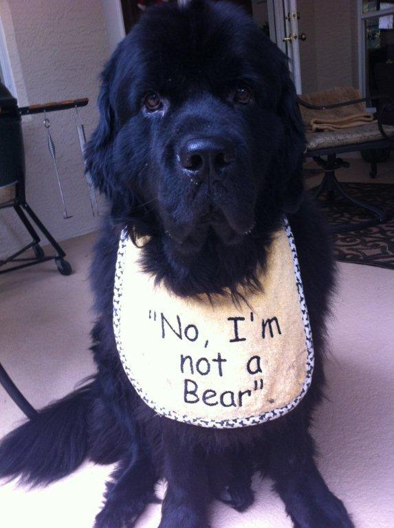 Im not a bear newfoundland dogs