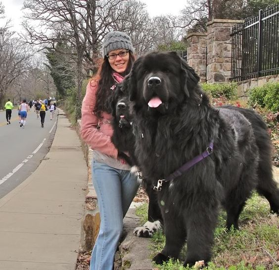 Newfoundland Dog Info and Pictures | FallinPets