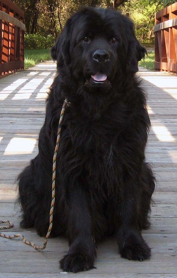 Massive newfoundland sweetest dog ever