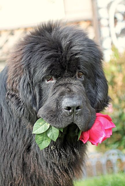 Newfoundland trapper with a flower for mom