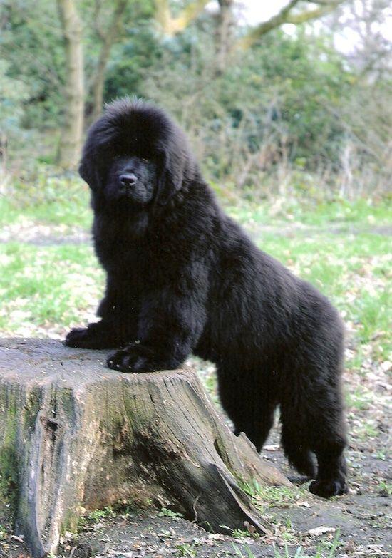 Newfoundland pup gentle giants