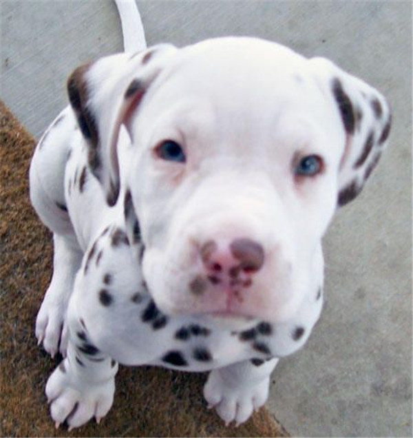 pitbull dalmation mix puppy