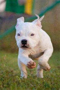 whitey pitbull puppy