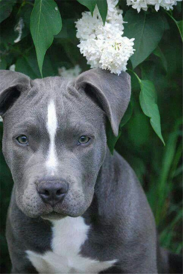 gray bull terrier puppies