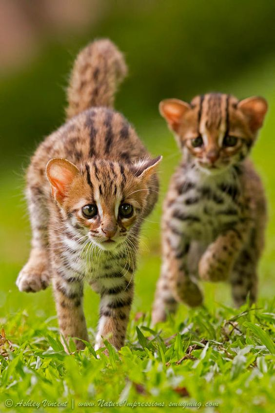leopard cat kitten