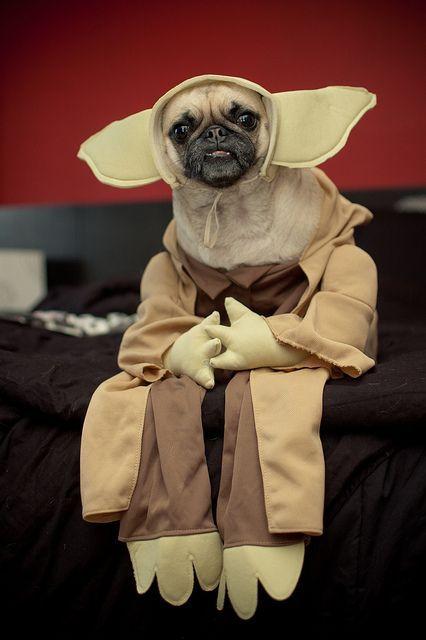 A Pug In A Yoda Costume