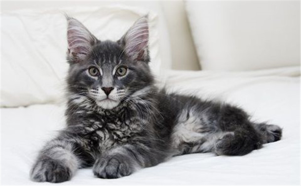 adorable-maine-coon-kitten