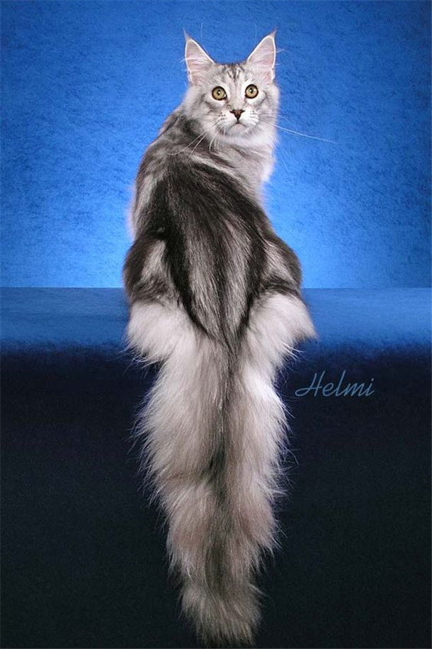 Silver Classic Tabby Maine Coon male