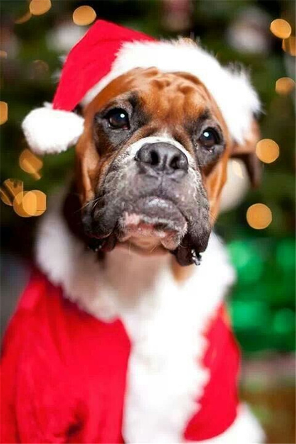 Boxer Merry Christmas Card Puppy Holiday