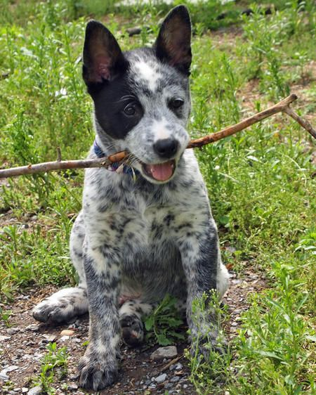 Cattle Dog Mix Pictures