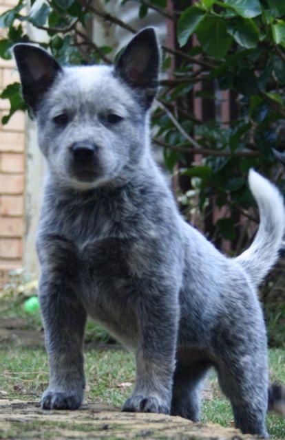 Cattle Dog Queensland Blue Heeler