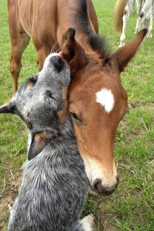 Sweet Cattle Dog with horse Pictures