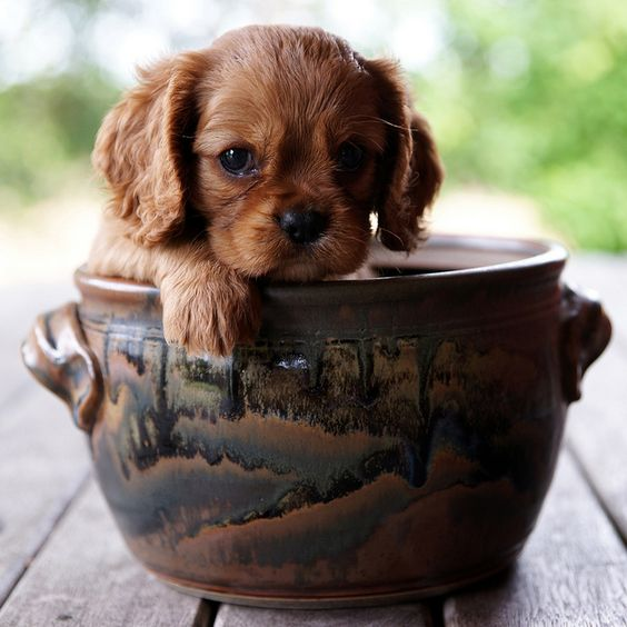 Cavalier King Charles Spaniel Puppy Dogs Tea Cup Puppy