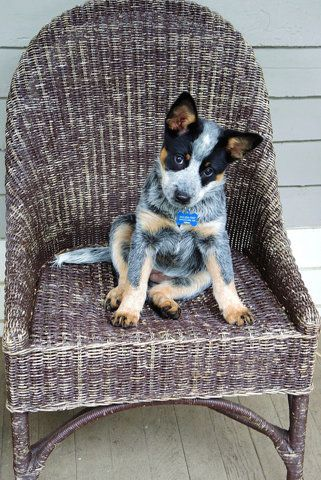 Cute Cattle Dog On the Chair