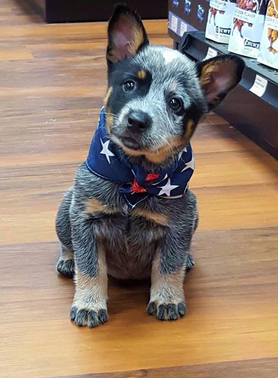 Cuteness Australian Cattle Dog