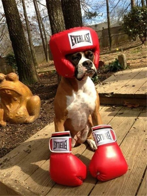 Dogs Who Dont Even Know Who They Are Anymore Boxer Dog