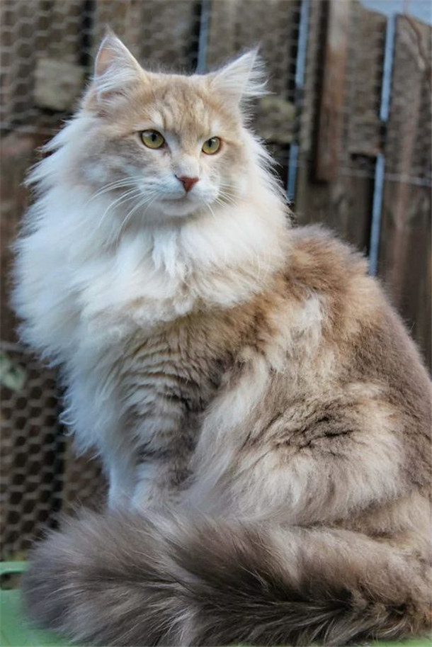 Gentle Maine Coon cat