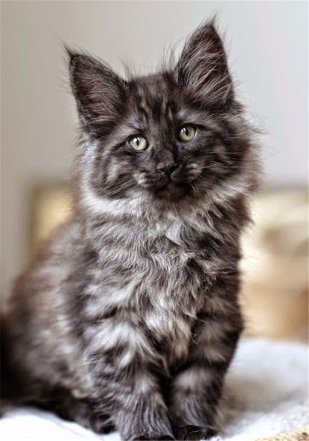 Gray Maine Coon Kitten Its Gorgeous