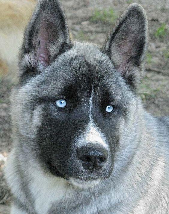 Husky Akita Gorgeous Mix Puppy
