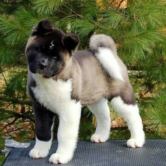 In Love With American Akita