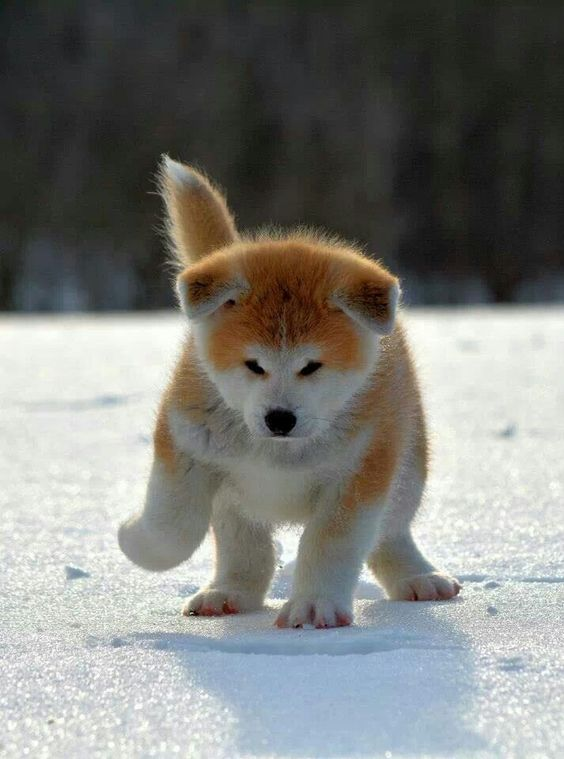 Japanese Akita Puppy Cute