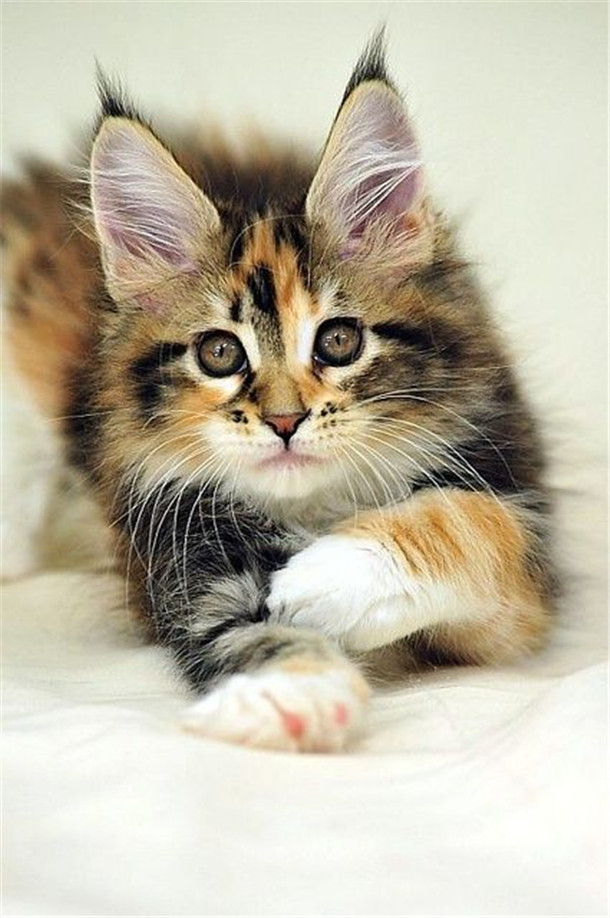 Maine Coon Kitten Love This Baby