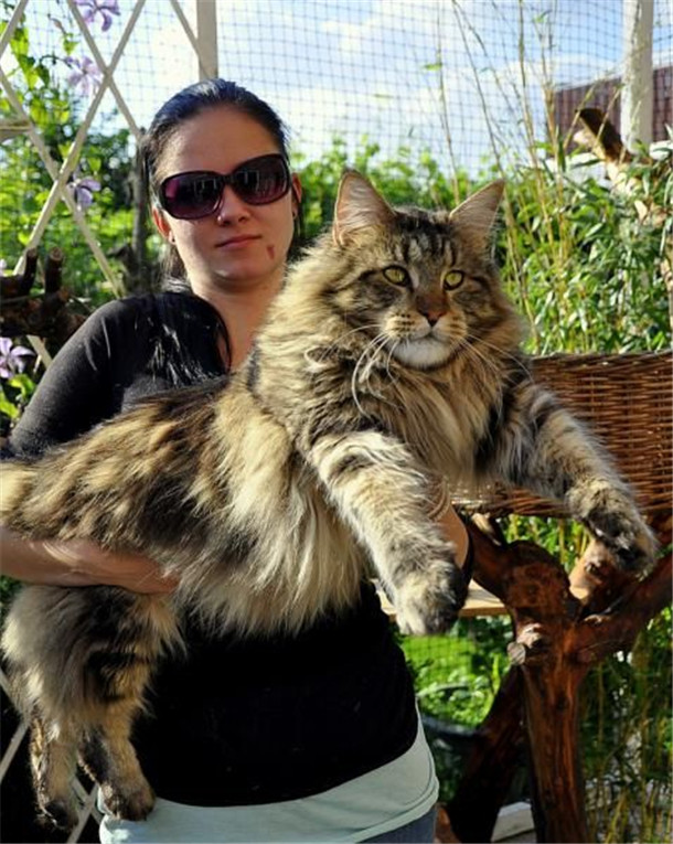Maine Coon Cat The Gentle Giant