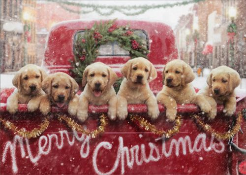 Merry Christmas A Whole Pickup Gold Retriever Puppies
