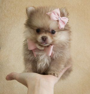 omg she is the cutest color teacup puppy