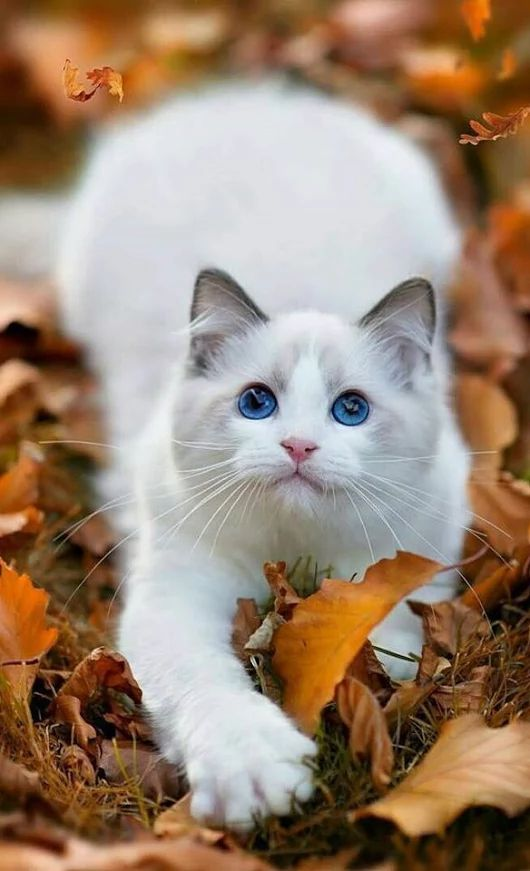 Ragdoll Is A Very Intelligent Blue Eyed Kitty Breed