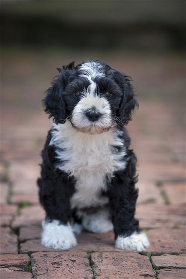 cute portugese water dog puppy