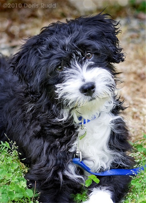 black white portugese water dog