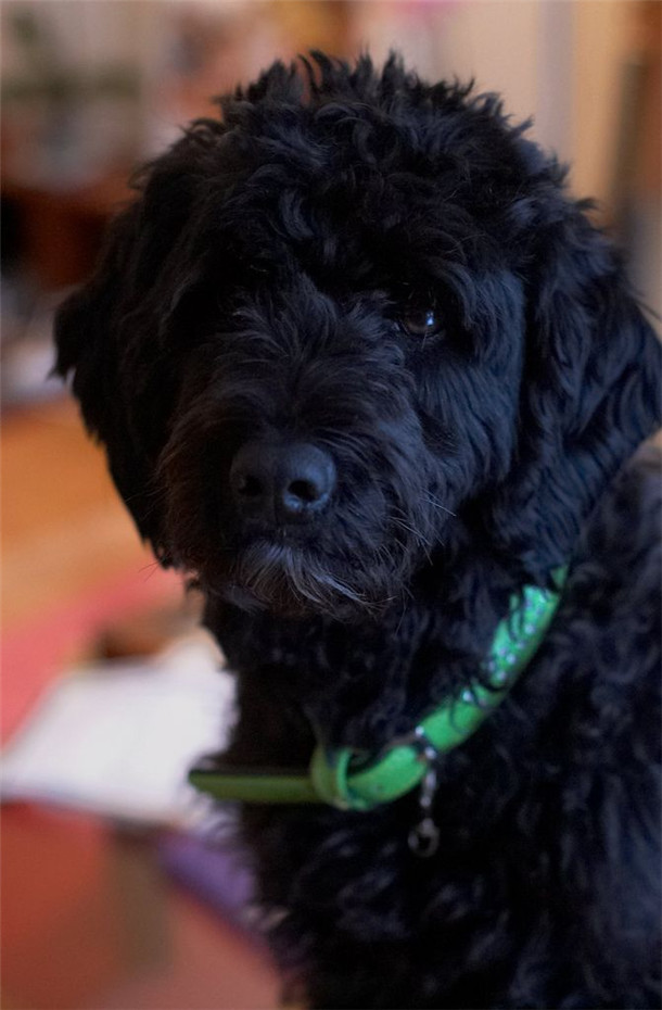 Portuguese Water Dog Information And Pictures Fallinpets