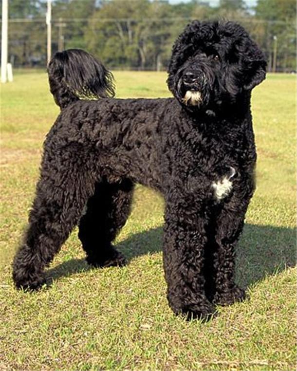 smart-portuguese-water-dog_023