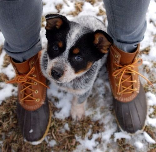 Sooo Cute Blue Heeler Puppy