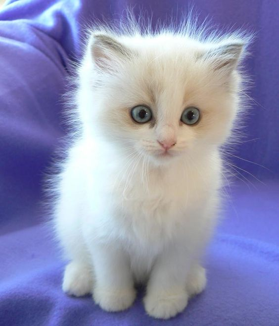 Super Cute Ragdoll Cat