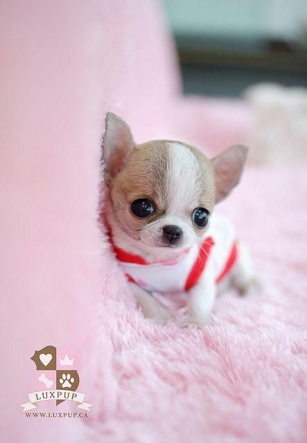 teacup chihuahua very cute