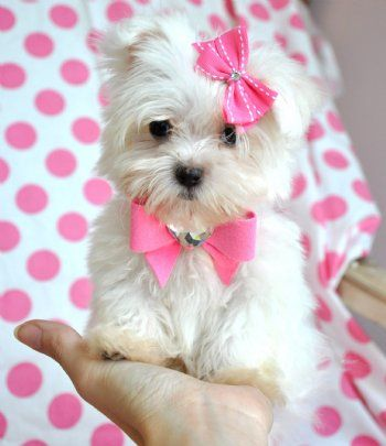 20 Cutest Teacup Dogs in the World | FallinPets