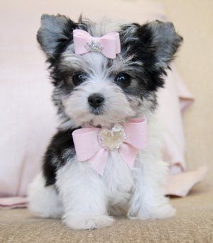 Tiny Teacup Biewer Morkie Princess 16 oz at 8 weeks