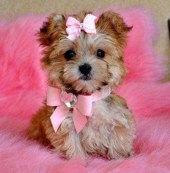 Tiny Teacup Morkie PuppyStunning Cinnamon.