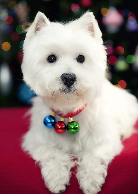 West Highland White Terrier With Christmas Bells