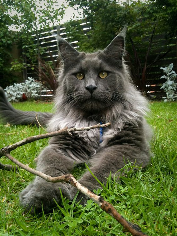 What A Beautiful Gray Maine Coon