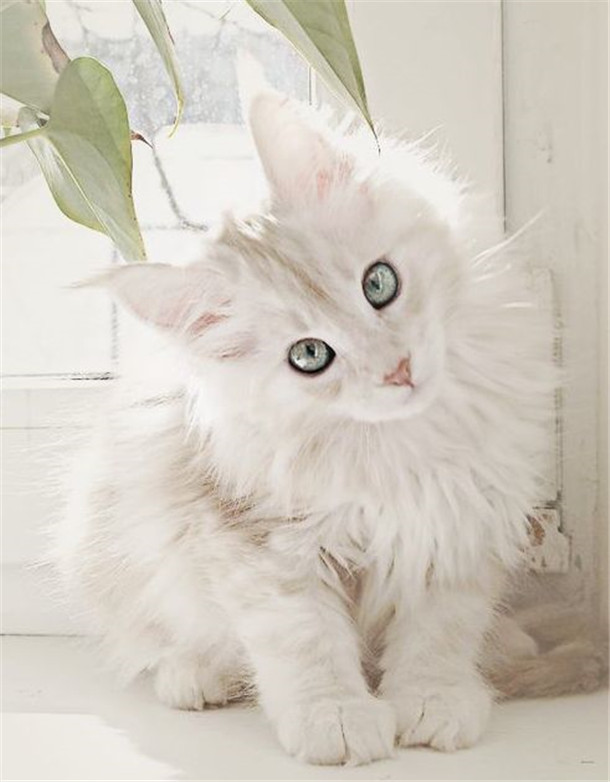 White Maine Coon Cat Wauw Love It