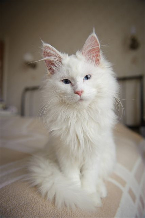 White Maine Coon