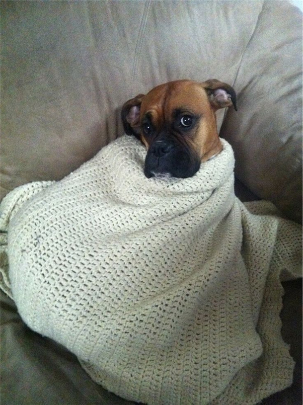 Yes I Am Comfy Now Funny Boxer Dog Pic